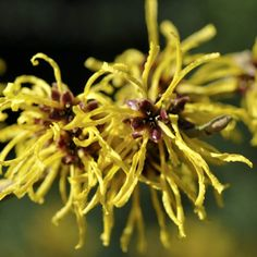 How to Use Witch Hazel to Clear Up Your Skin Fast by @draxe