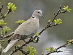 Eurasian Collared-Dove Just saw two of these at the feeders today. Haven't had them before although they are fairly common. Nature Animals, Animals And Pets, Dove Pigeon, Adornos Halloween, Mourning Dove, Dove Bird, Turtle Dove, Funny Birds, Bird Pictures