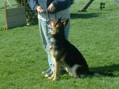 Vom Haus Weinbrand German Shepherd Dogs - pictured here is Brat vom Haus Weinbrand SchH3 OB1 AD CGC TC OFA good H&E 'a' normal hips ZW#72
