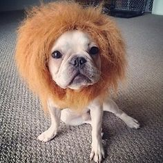 French Bulldog in a Lion Costume