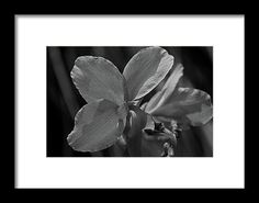canna, nature, flower, black and white, blossom, bloom, michiale schneider photography, interior design, framed art, wall art