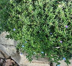 semis de c leri rave id es jardin pinterest semis jardins et potager. Black Bedroom Furniture Sets. Home Design Ideas