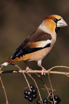 Beautiful bird, the Hawfinch (Coccothraustes coccothraustes)