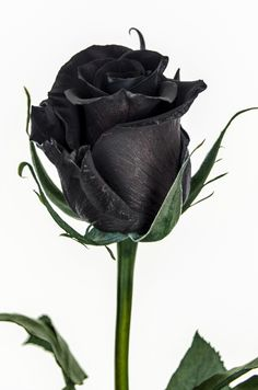 roses garden care 20 Black Flowers and Plants to Add Drama To Your Garden Dark Flowers, Flowers In Hair, Pretty Flowers, Garden Care, Black Rose Flower, Black Roses, Rose Violette, Love Rose, Amazing Nature
