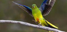 City Parrots -orange bellied