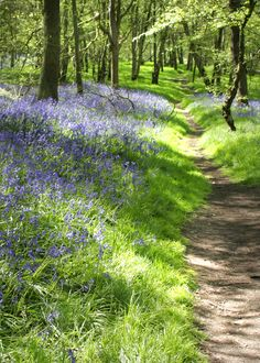 Bluebell path by Diane