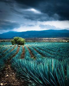 There is something so magical about a rainy Agave field. The different shades of blues and greens makes you feel some type of way. Enjoy the little things in life! IT'XA pleasure to be serving food made with passion. Agaves, Mexican Restaurant Decor, Tequila Agave, You And Tequila, Fun Shots, What A Wonderful World, Mexico Travel, Wonders Of The World, Places To Go