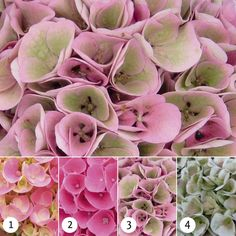 Magical hydrangeas are extremely strong indoor and garden hydrangeas that flower for 150 days and change colour three or four times per flowering season. Hydrangea Plant, Hydrangea Colors, Hydrangea Macrophylla, Flower Images, Trees And Shrubs, Plant Care, Four Seasons, Country Living, Colorful Flowers