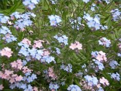 How to grow Forget Me Nots and get them to spread.