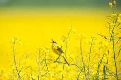 Yellow wagtail by John Caz on 500px
