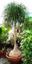 Beaucarnea recurvata Ponytail palm