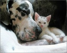 Gentle giant and his buddy..let sleeping dogs lie while kitty watches over him