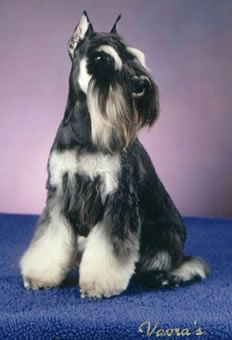 Find Out More On Energetic Miniature Schnauzer Puppy Grooming Schnauzers, Schnauzer Breed, Schnauzer Grooming, Miniature Schnauzer Puppies, Puppy Grooming, Miniature Schnauzer Black, Black Schnauzer, Giant Schnauzer, Daisy Dog