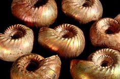 Russian ammonite paracadoceras