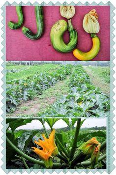 zucchini, courgette,summer squash
