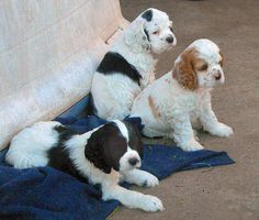 Cocker Spaniel Puppy Picture