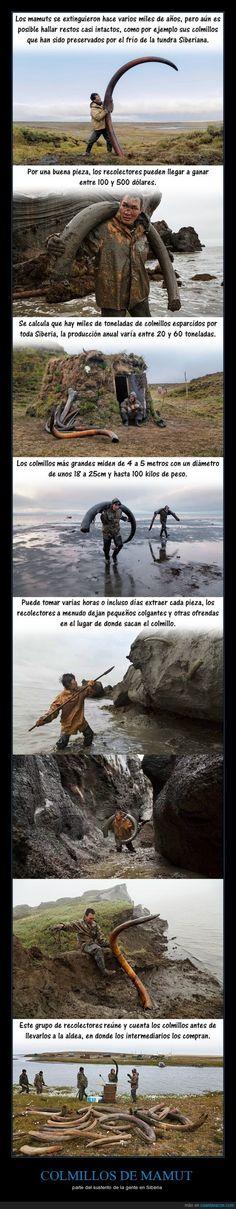Espectacular la historia de los colmillos de mamut - parte del sustento de la gente en Siberia   Gracias a http://www.cuantarazon.com/   Si quieres leer la noticia completa visita: http://www.estoy-aburrido.com/espectacular-la-historia-de-los-colmillos-de-mamut-parte-del-sustento-de-la-gente-en-siberia/