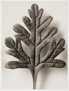 A Still Life Collection: Karl Blossfeldt Karl Blossfeldt, Natural Structures, Natural Forms, Organic Form, Organic Shapes, Close Up Art, Close Image, Fotografia Macro, Photography Pics
