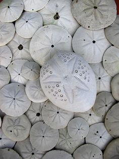 sand dollars by *omnia*, via Flickr