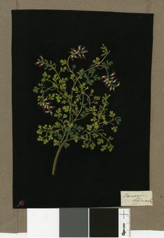 Fumaria officianalis, from an album (Vol.IV, 35); Common Fumitory. 1779 Collage of coloured papers, with bodycolour and watercolour, on black ink background, Mary Delany (1700-1788)