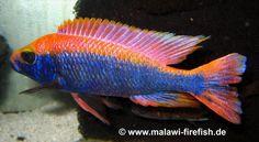 http://www.aquariaveldhuis.nl/index.php?Sciaenochromis=sciaenochromis-fryeri-purple-red--VISSEN