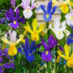 25x Holländische Iris - Mischung gemischt kaufen | Bakker.com Daffodil Bulbs, Tulip Bulbs, Bulb Flowers, Large Flowers, Flower Pots, Summer Flowering Bulbs, Summer Bulbs, Spring Bulbs, Garden Bulbs