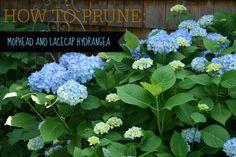How to Prune Hydrangeas (Video Tutorial) ⋆ North Coast Gardening Hydrangea Care, Hydrangea Macrophylla, When To Prune Hydrangeas, Pruning Hydrangeas, Planting Flowers, Flower Gardening, Pruning Plants, Garden Plants, Gardens