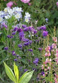 Aquilegia vulgaris 'Blue Barlow' - From Annie's Annuals