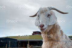 A goat looks over a fence to the camera on a grey overcast day. Agriculture Photos, Image Now, Goats, Royalty Free Stock Photos, Animals, Animales, Animaux, Animal, Animais