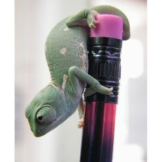 A baby Yemen chameleon.