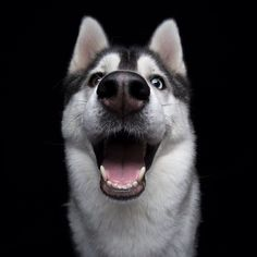 22 super happy dogs whose smile is contagious. Silly Dogs, Smiling Dogs, Funny Dogs, Happy Animals, Cute Funny Animals, Animals And Pets, Pet Dogs, Dogs And Puppies, Dog Cat