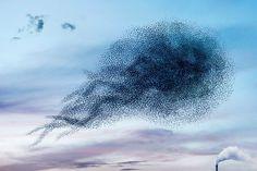 Centinaia di sagome nere sorprese nell'atto di compiere mirabili acrobazie nel cielo, stormi d'uccelli neri com'esuli pensieri, nel vespero migrar , a