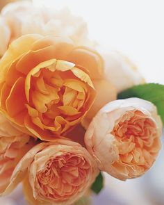 English roses are ready for picking.