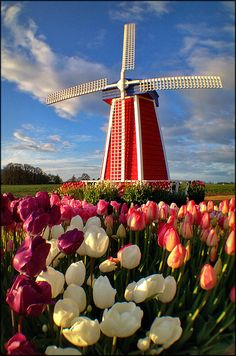 Wooden Shoe Windmill Tulips