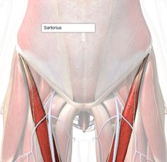 Awesome website for learning muscles (Psoas Release New Years) Pilates, K Tape, Psoas Release, Muscular System, Muscle Anatomy, Body Anatomy, Anatomy Study, Sports Massage, Athletic Training