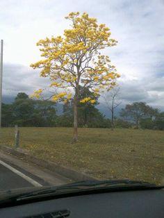 Hermoso Cañahuate florecido, sólo los podrás encontrar en tierras Vallenatas. Árbol típico de nuestra Región.