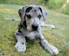 so sweet! great dane puppy