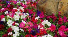 Petunias, flores de bajo mantenimiento