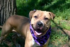 SAFE 7-16-2015 --- Staten Isalnd Center ADOBO – A1035569 MALE, BROWN / WHITE, PIT BULL MIX, 1 yr STRAY – STRAY WAIT, NO HOLD Reason STRAY Intake condition EXAM REQ Intake Date 05/07/2015