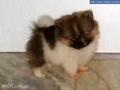 Teacup Pomeranian #pomeranian