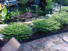 mexican heather and boxwoods