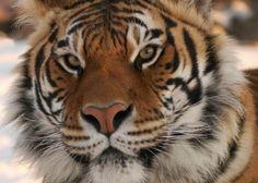 Shere Khan the Asian Tiger at Animal Ark in Reno, Nevada