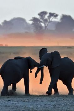 "funnywildlife: ""Two adolescent male elephants sparring at sunset on the Chobe floodplain, Botswana by Marc Mol """
