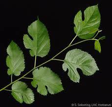 leaves mulberry - Pesquisa Google