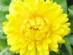 yellow flowers - - Yahoo Image Search Results