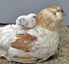 A Wheaton Ameracauna hen with her chick.  I want one.  They are supposed to lay the bluest of blue eggs.