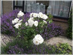 Lavender and roses...in my garden