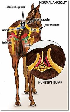 horse SI joint - Google Search