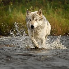 Wolf crossing river by Mike Lentz