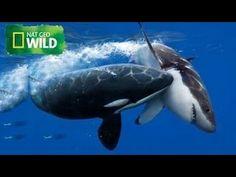 Great White shark Vs Killer Whale ( Nat Geo WILD )